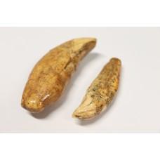 Cave bear teeth