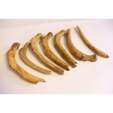 Cave bear ribs (Spelaeus)