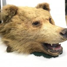 Brown Bear - Head - Ursus arctos