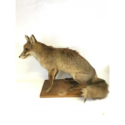 Fox Hunting Trophy